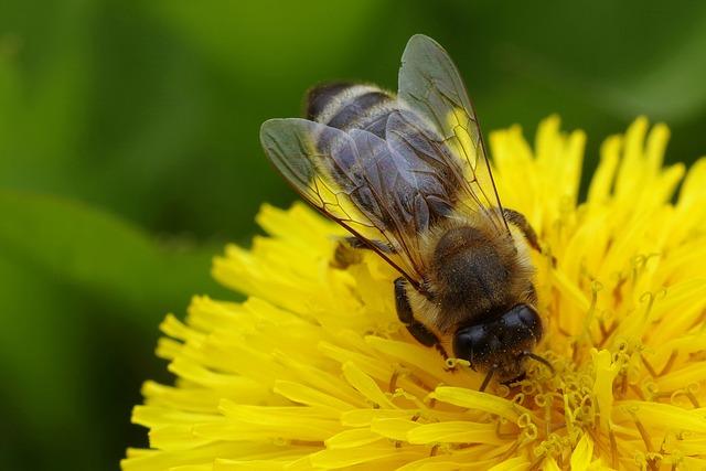 včela a pampeliška